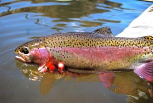 A beautiful Deschutes trout