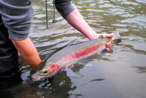 A Deschutes Steelhead with some fall colors